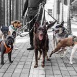 Buscamos paseador canino